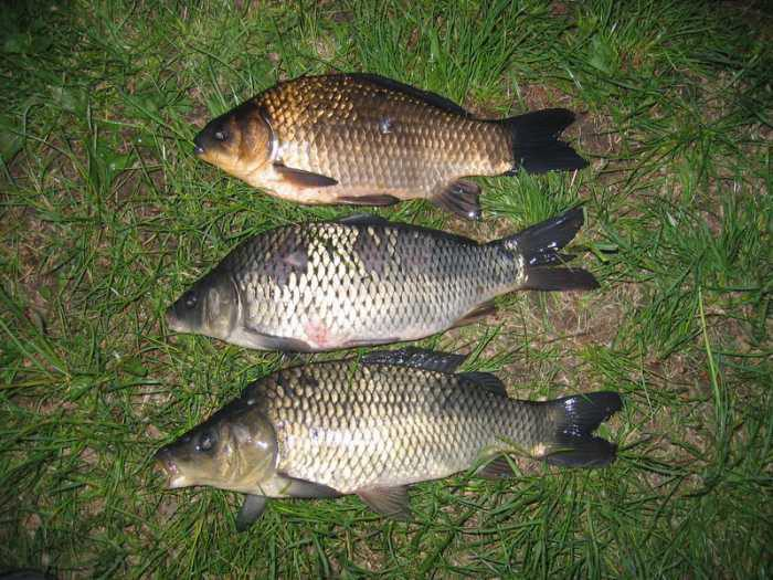 Карп оптом   купить живого карпа для пруда цена рыбхоза